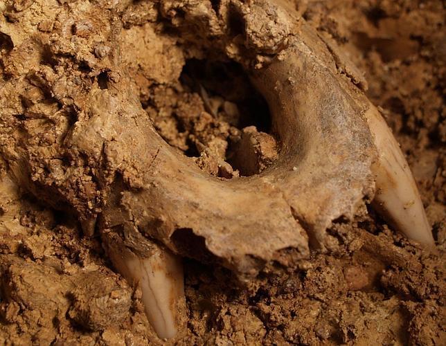 Descifrado el ADN de un oso cavernario de hace 400.000 años en Atapuerca