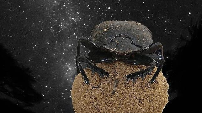 El escarabajo pelotero africano, sobre su pelota de estiércol