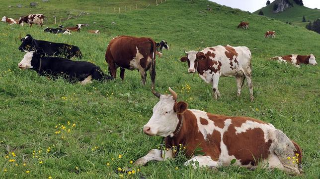 Vacas en un campo de Suiza