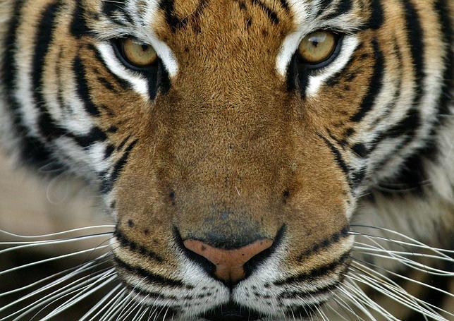 El genoma de los grandes felinos, revelado