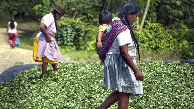 Perú sigue siendo el mayor productor mundial de coca, pese a que redujo los cultivos