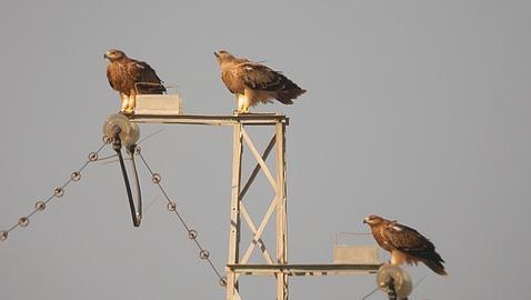 Un águila electrocutada salva la vida gracias al trasplantate de todas las plumas mediante injertos con fibra de vidrio