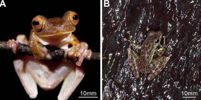 La rana más adherente del mundo