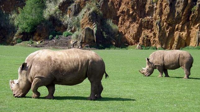 Nace un rinoceronte blanco macho en el Parque de Cabárceno