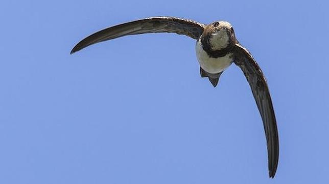 El ave que vuela 6 meses seguidos sin parar