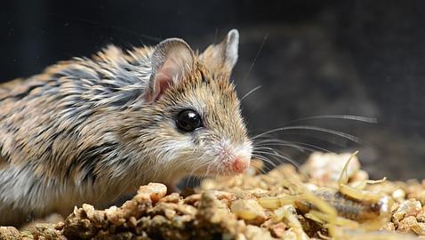 Los incre bles ratones sin dolor - El mejor veneno para ratones ...