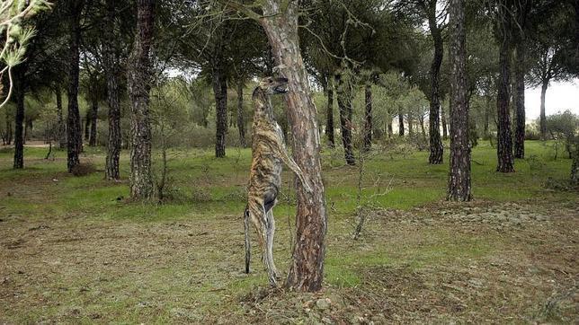 Condenan a un cazador a siete meses de prisión por ahorcar a dos de sus galgos