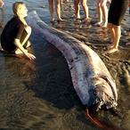 Así son las entrañas del «monstruo marino» de California