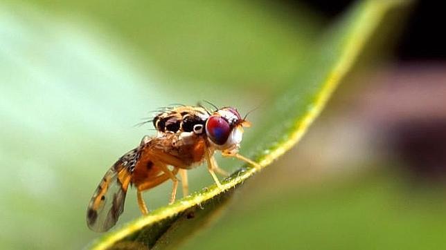 Una empresa británica solicita permiso para liberar moscas transgénicas en España