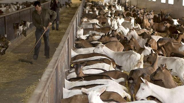 Logran cabritos con más carne que duplican los beneficios a los ganaderos