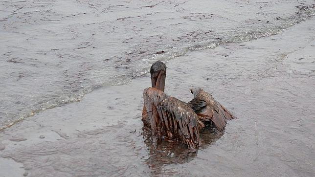 Un pelicano cubierto de petróleo; costa de Grand Isle, Luisiana (EE.UU.); junio de 2010 (tras el desastre de BP)