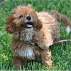 Logran crear el eterno cachorro: ¿el nuevo perro capricho?
