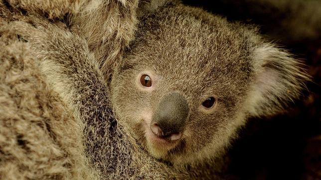 Descubren en los koalas un órgano de voz único en el mundo