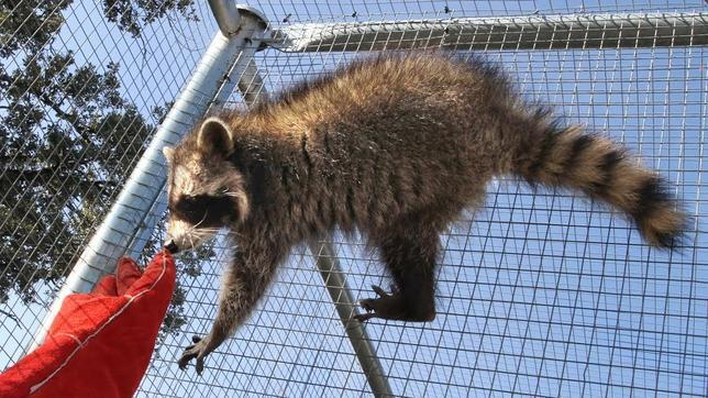 Un mapache en el Centro de Recuperación de Animales Salvajes