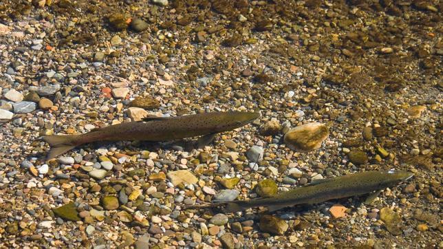 El «salto de la reja», imposible para los salmones del río Trubia