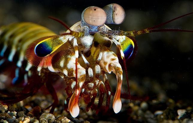 Camarón mantis: cómo cazar al primer vistazo