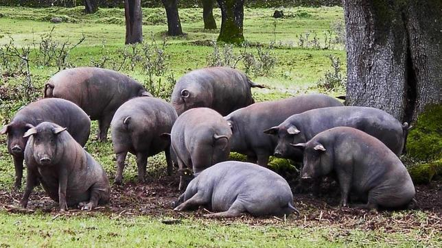 Cerdo ibérico: así nace y se hace el mejor jamón del mundo