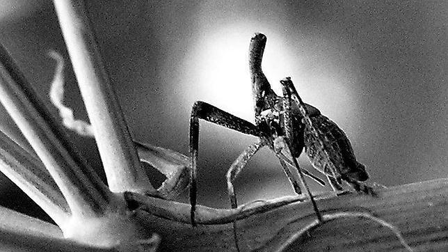 Este insecto tan extraño mide alrededor de un centímetro, es pariente de los pulgones y se llama «Bursinia genei»
