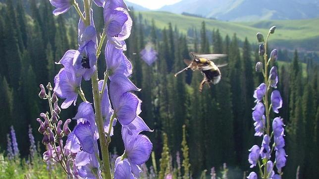 Las abejas pueden volar más alto que el monte Everest