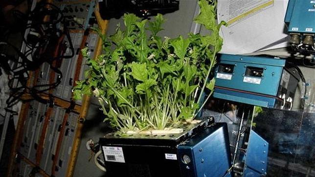 Guisantes y trigo ya crecen en el espacio