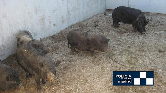 Capturan a doce cerdos vietnamitas junto al Manzanares