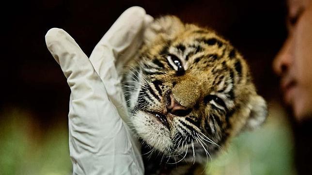 Poner coto a la actual «plaga» de caza furtiva de rinocerontes, elefantes y tigres