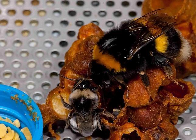 La apicultura pone en peligro a los abejorros