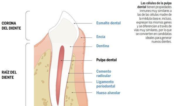 Las células de la pulpa dental son similares a células madre de la médula ósea