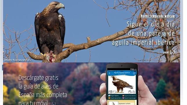 Una webcam permite seguir la cría de una pareja de águila imperial en Cabañeros