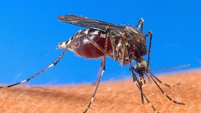 Hallan la proteína clave para la transmisión del parásito de la malaria a los mosquitos