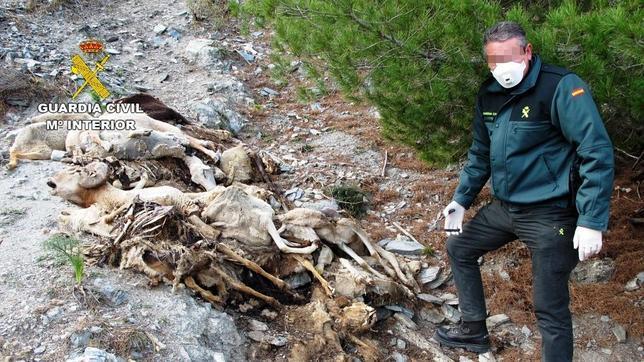 Detenido Por Arrojar Más De 42 Cadáveres De Ovejas Y Cabras En Un