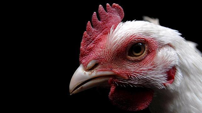 Hallan un nuevo estado de la materia en los ojos de un pollo