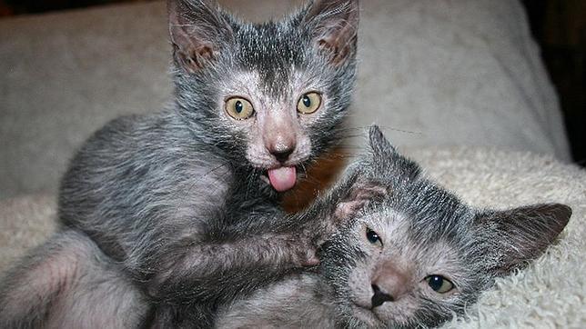 Los inquietantes gatos lobo «lykoi»