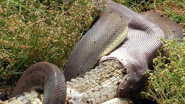 La pitón que se comió al cocodrilo australiano tardará dos semanas en volver a deslizarse