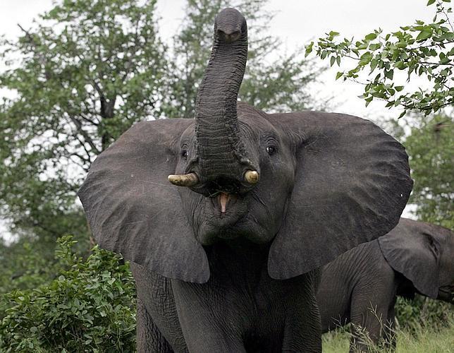 Los elefantes saben gritar «¡cuidado, humanos!»