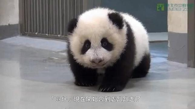 Vídeo: El bebé panda que no quiere irse a dormir