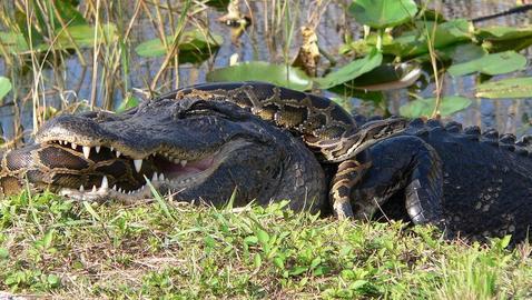 Descubren que serpientes pit n tienen sistema de br jula for Casa jardin culebra