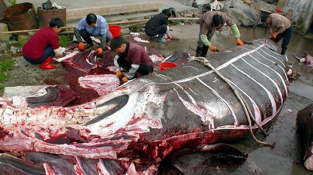La Corte Internacional de Justicia dictamina que Japón debe cesar «de inmediato» de cazar ballenas en el Antártico