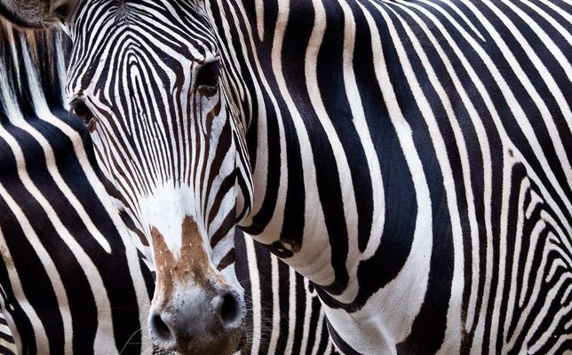 Resuelto el misterio de las rayas de las cebras