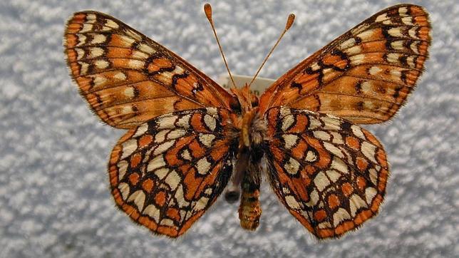 La rara mariposa que desafía al cambio climático