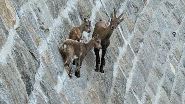 Las asombrosas cabras escaladoras de Italia