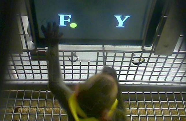 Los monos saben hacer sumas