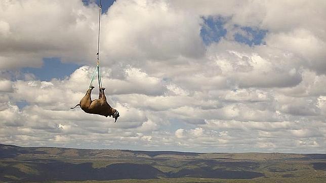 Roban en Sudáfrica 40 cuernos de rinoceronte valorados en 10