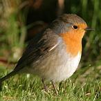 Los dispositivos electrónicos y la radio AM desorientan a las aves migratorias