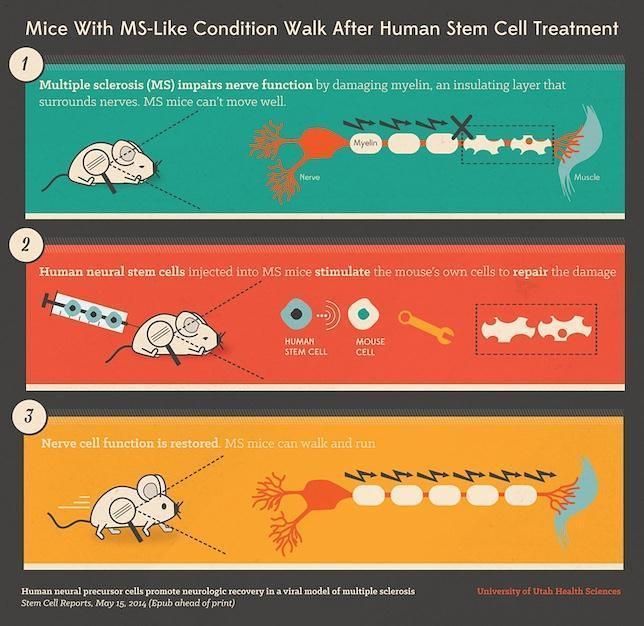 Una terapia celular logra que ratones con esclerosis