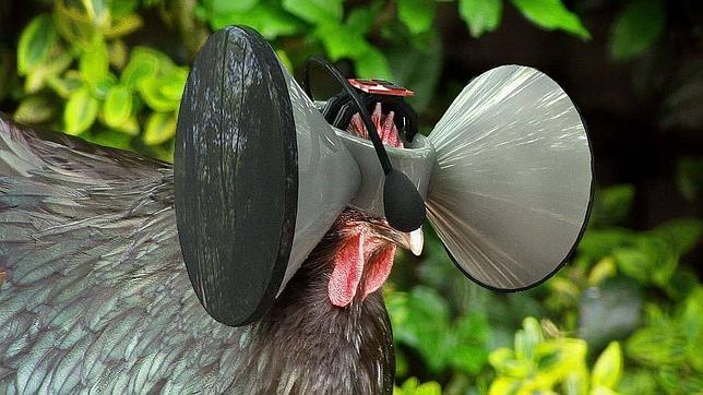 Inventan gafas de realidad virtual para que los pollos no se sientan encerrados