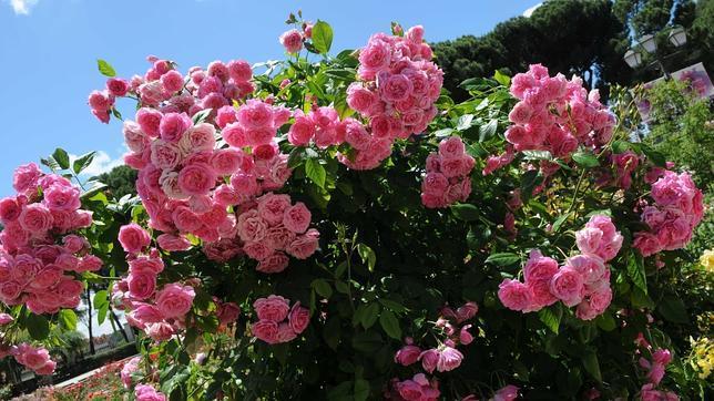 Un rosal franc s gana el concurso internacional de rosas for Viveros el rosal