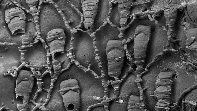 Hallan con vida una criatura microscópica que se creía extinguida hace 4 millones de años