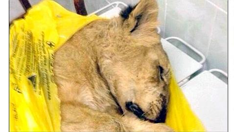 Crea el caos en un tren ruso al transportar una cría de león con la documentación de un «gato doméstico»