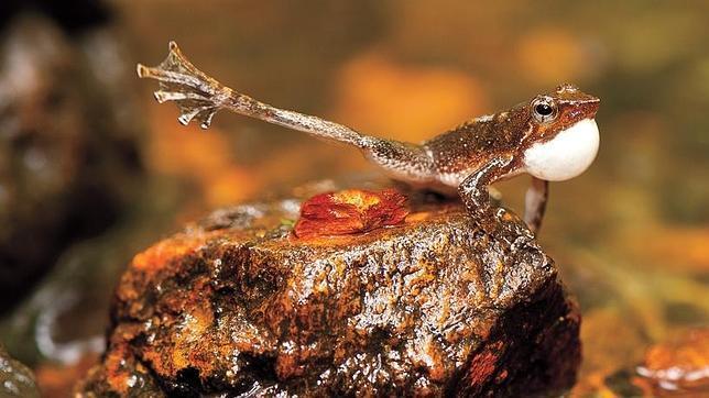 Las ranas bailarinas que pueden estirar la pata